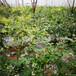 郝伯特盆栽蓝莓苗供应郝伯特蓝莓苗介绍质优价廉