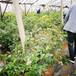 天后盆栽藍莓苗供應天后藍莓苗市場農戶推廣