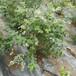 北極星盆栽藍莓苗供應北極星藍莓苗市場農戶推廣