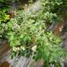 春高盆栽蓝莓苗供应春高蓝莓苗货源农户推广