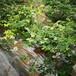 錢德勒盆栽藍莓苗供應錢德勒藍莓苗種植品種