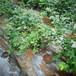 優瑞卡盆栽藍莓苗供應優瑞卡藍莓苗介紹廠家直供
