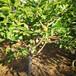 米德盆栽藍莓苗供應米德藍莓苗廠家適合推廣