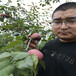 中華丑梨梨樹苗價格農戶推廣