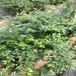 布蘭瑞克無花果樹苗市場布蘭瑞克無花果樹苗適合推廣