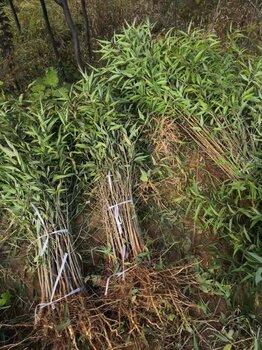 山桃苗,绿化山桃苗价格,占地山桃苗价格优惠出售