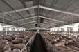 養豬場臭味重用福賽生物酶除臭液安全環保