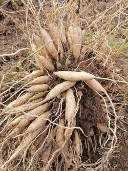 中草药种植百部种植基地直发每株0.9元