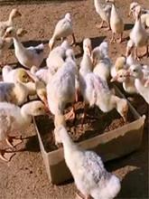 生態植物發酵飼料鵝飼料鴨飼料80斤袋裝中期養殖全價料圖片