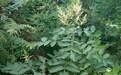 廣西綠化鹽膚木灌木供應商批發