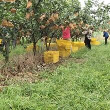 秋月梨大量上市,歡迎垂詢圖片