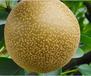 貴州地理標志產品新鮮梨
