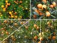 上海桔子采摘的地方,上海长兴岛桔园,采摘一日游图片