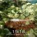 安康市幾年結果哪里賣草莓苗