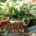 晉城市品種多成活率好山東泰安草莓苗