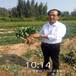 遼陽市成活率高草莓苗移植
