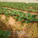 濮陽市免費提供技術白雪草莓苗