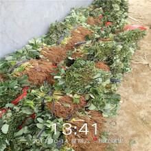 海南州丰产量产草莓苗哪里有图片