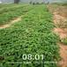 防城港市品種多京香草莓苗
