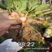 石嘴山市高產京香草莓苗