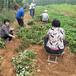 滁州市歡迎前來咨詢妙香草莓苗