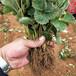 山南地區品種假一賠十草莓苗種植