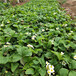棗莊市一棵多少錢多少錢一顆草莓苗
