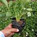 定西市假一賠十法蘭地草莓苗批發