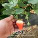 蕪湖市品種假一賠十草莓苗哪里便宜