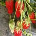 林芝地區免費提供技術什么草莓苗好