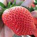 延邊州種植技術指導一代草莓苗