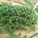 唐山市批發基地大棚草莓苗