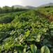 海南州1棵多少價格草莓脫毒苗