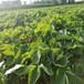 海南省一畝地需要草莓苗圖片