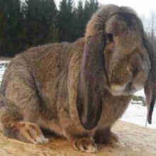 公羊兔能長多大公羊兔一般能長多少斤圖片